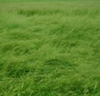 Semillas de pasto