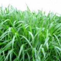 """Semillas de pasto """"B. Brizantha"""