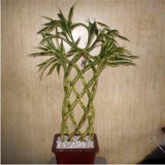 Flores. Bambu рantalla